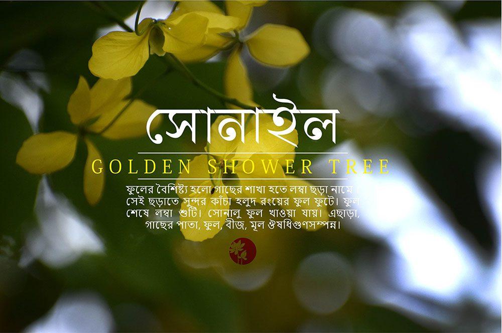 সোনালু  বা সোনাইল| Golden Shower Tree