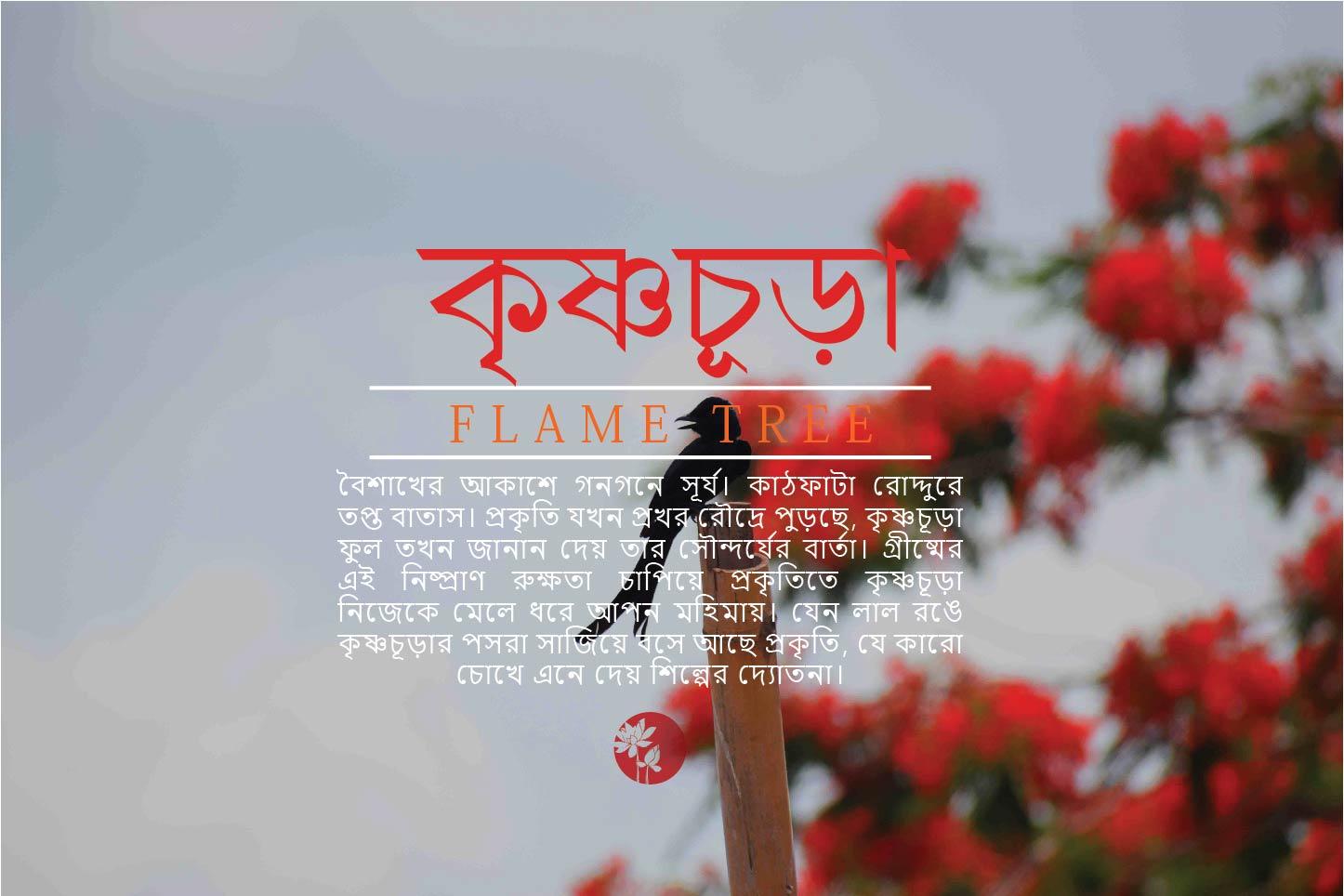 কৃষ্ণচূড়া | Flame Tree